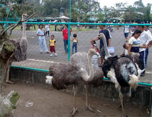 Photo of the ostriches and their spectators at the Albay Park and Wildlife.