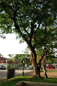 Photo of the acacia-lined Plaza Luisita