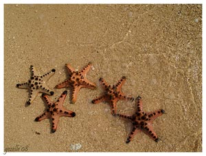 Starfishes on the beach of Starfish Island