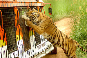 Photo of a tiger feeding on a chicken at Zoobic Safari.